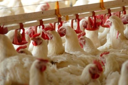 تاثیر محدودیت غذایی در سنین اولیه و برنامه نوری (متناوب شبانه) بر عملکرد جوجه های گوشتی: